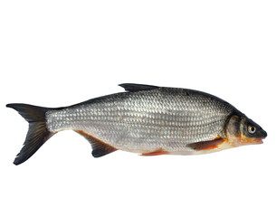 wild fish chondrostoma nasus