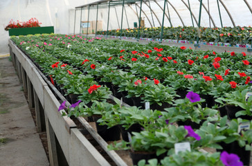 great greenhouse for the cultivation of flowers in a warehouse