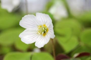 Waldsauerkleeblüten / Wood-sorrel flowers