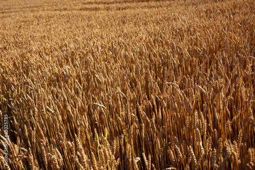 Golden grain field
