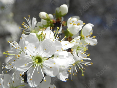 Plum tree flower white spring