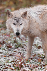 Blonde Wolf (Canis lupus) Stands in Falling Snow