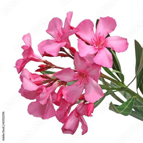 canvas print picture laurier rose