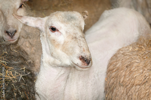 One Sheared Sheep Amongst Others Prior to Shearing