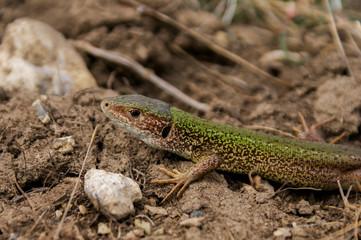 Lagarto, Lizard, Lacerta bilineata