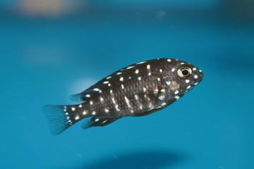 Duboisi Cichlid (Tropheus duboisi) freshwater aquarium fish