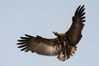 Hooded Vulture in flight with wings in a wide curve