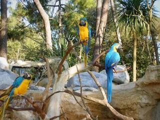 aras bleu et jaune