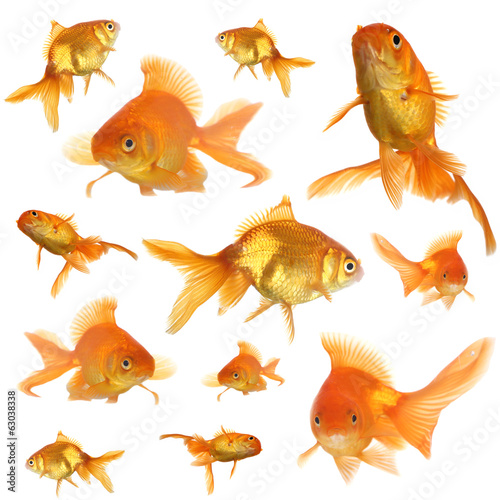 Collage of goldfish in aquarium isolated on white