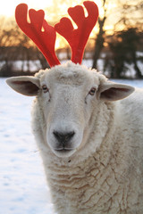Sheep reindeer