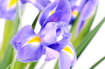 Blue irises isolated on white background