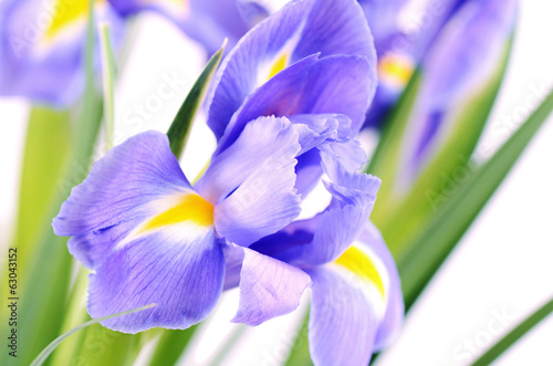 Foto op Canvas Iris Blue irises isolated on white background