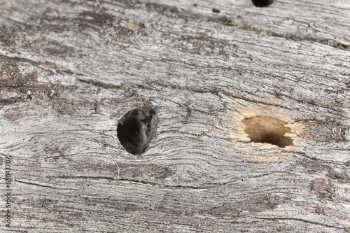 Hatching holes after beetles on pine wood
