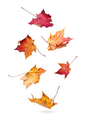 Autumn maple leaves falling down isolated on white background
