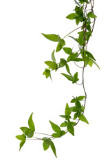 Ivy stem isolated over white.