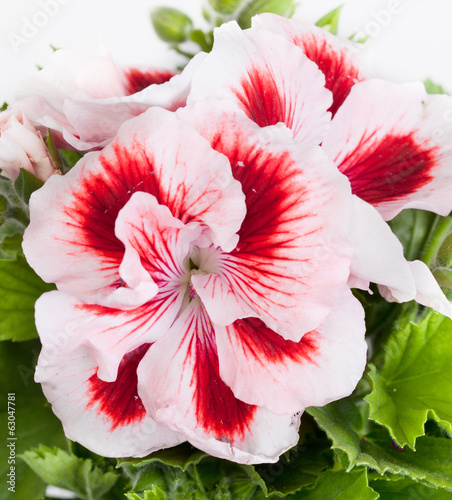 Flowers of a two-color geranium close up