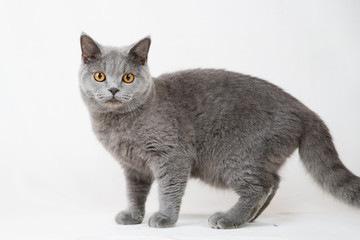 British shorthair cat on white background