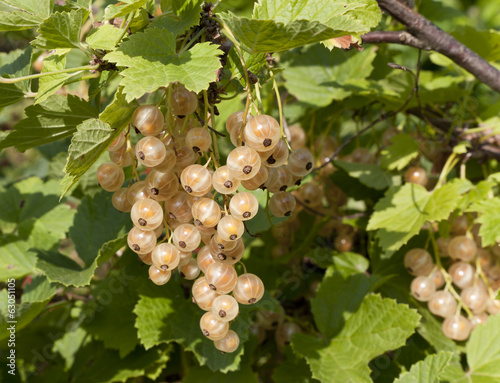 The white currant berries