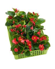Begonia semperflorens in a basket