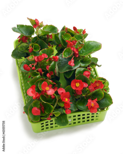 Begonia semperflorens in a basket