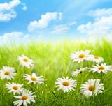 Fototapety Daisy field with blue sky