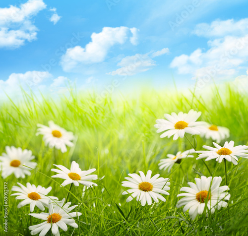 Daisy field with blue sky - 63052372