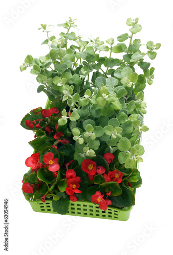 Begonia semperflorens, helichrysum in a basket