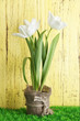 Beautiful tulips in pot  on green grass, on wooden background
