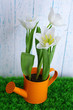 Beautiful tulips in decorative watering can
