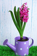 Beautiful hyacinth flower in decorative watering can