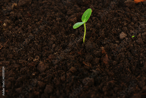 green cucumber seedling