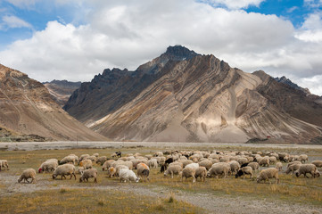 Herd of sheep against the background of Zanskar range