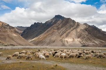 Herd of sheep against the background of Zanskar range