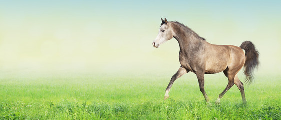 horse running trot on green summer meadow, banner