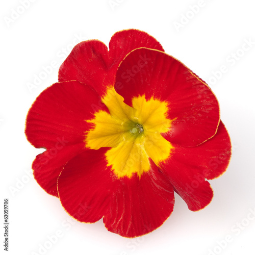 canvas print picture Kissenprimel, Primula vulgaris,