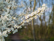 Budding and flowering Amelanchier branches