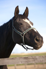 Beautiful black  thoroughbred horse head at farm