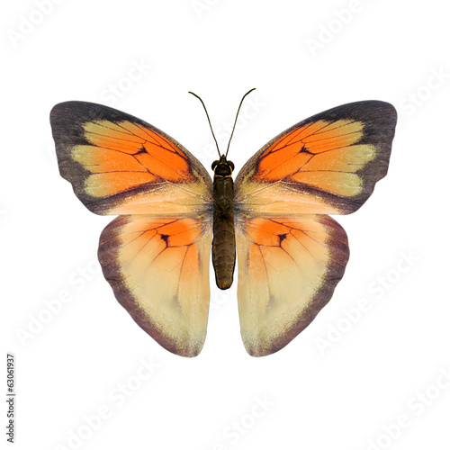 tropical butterfly on white background