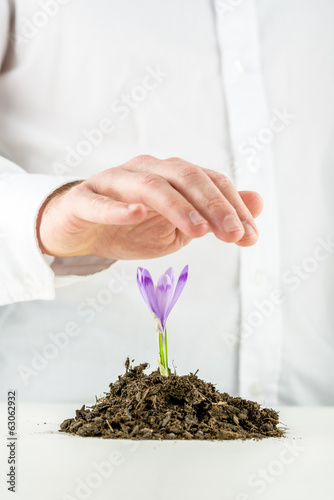 Man protecting a flowering spring freesia