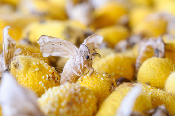 Silkworm Moth Newly Emerged From Yellow Cocoon