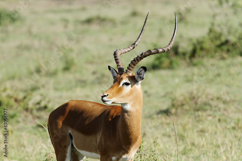 Close view of a beautiful Impala