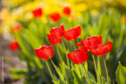 Red tulips in garden with more yellow ones behind