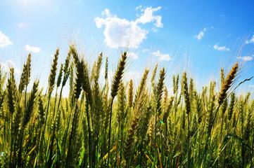 Unseasoned wheat field
