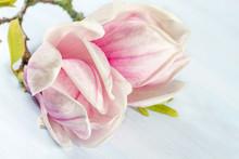 Floraison branche de Magnolia.