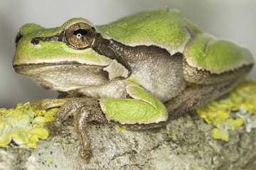 common green toad in natural hanitat - close-up / Hyla arborea