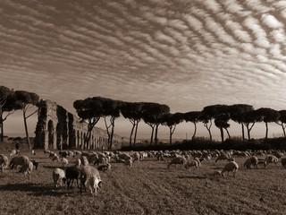 pecore al Parco degli Acquedotti a Roma