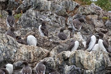 Gannet Birds hanging on a rock