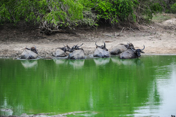 buffalo s have a rest