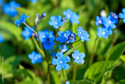 Bright blue flowers in flowerbed in spring.