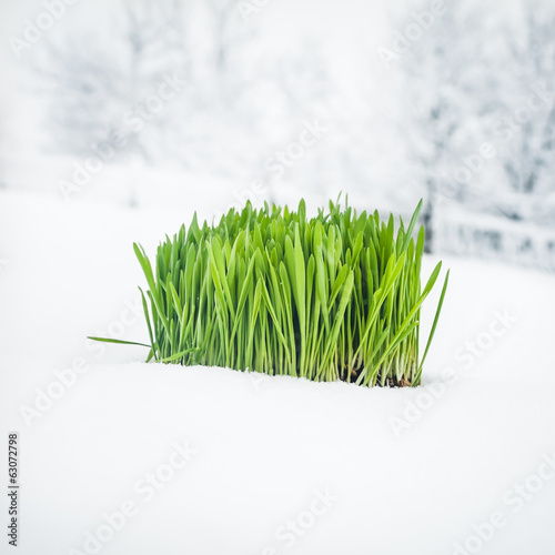 Easter Background Made of Green Grass Cluster Covered by Snow